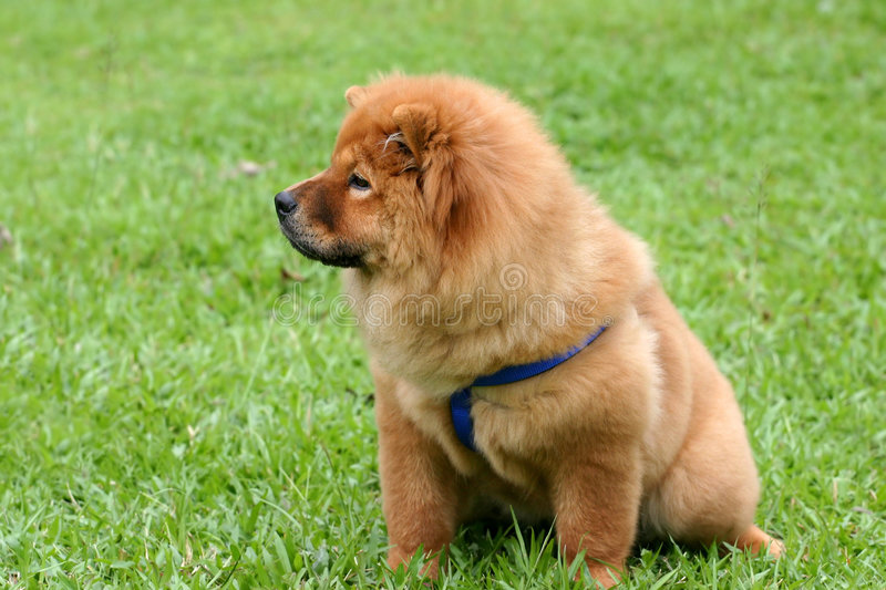 Chowchow juvenile royalty free stock photography