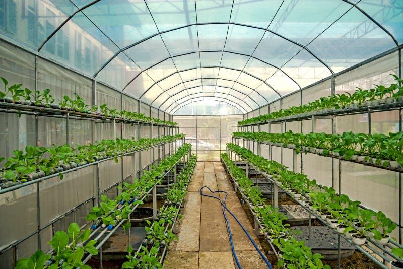 Choy在温室水栽法农场 免版税库存照片