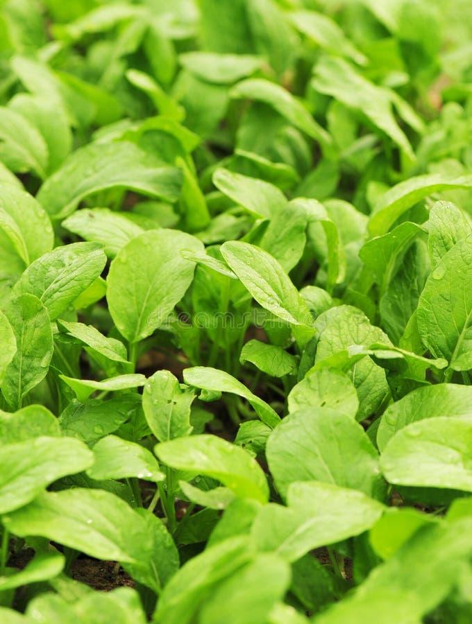 Download Choysum fresco imagem de stock. Imagem de vegetal, colheitas - 26509071