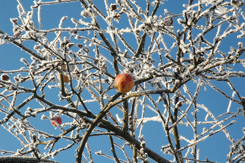 The Christmas's apple. My garden. December. Nikon D70 stock photo