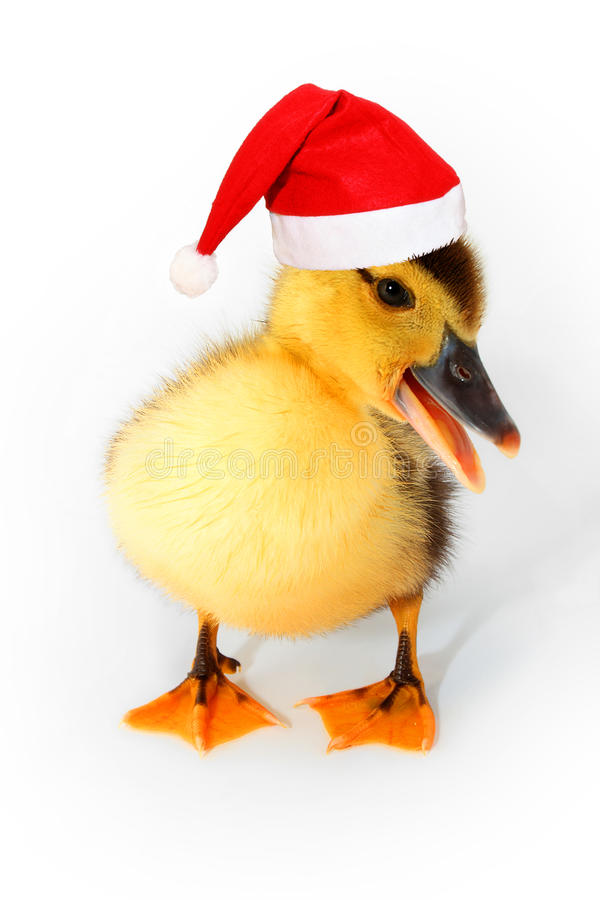 Duckling with red Santa hat isolated on white royalty free stock photography