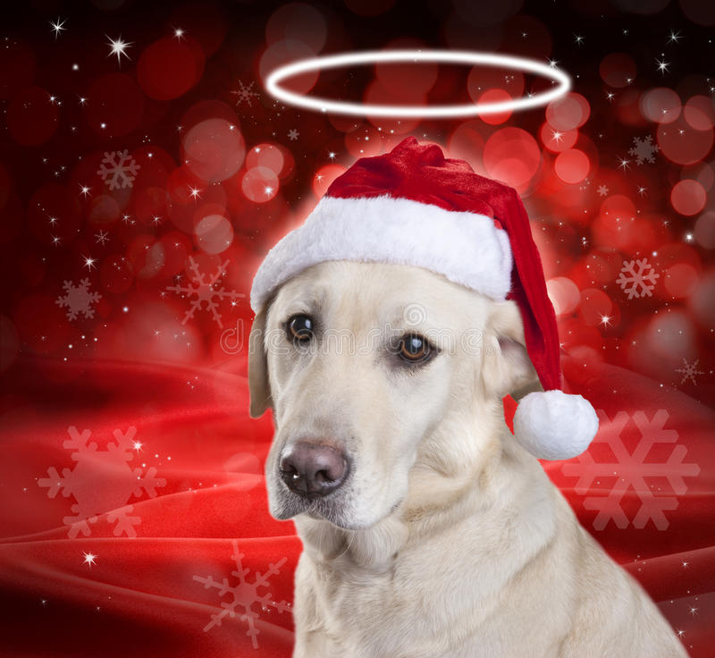 Christmas Santa Hat Dog. A Labrador dog wearing a santa hat with a white halo and a red christmas background. Please see similar image no. 53532546