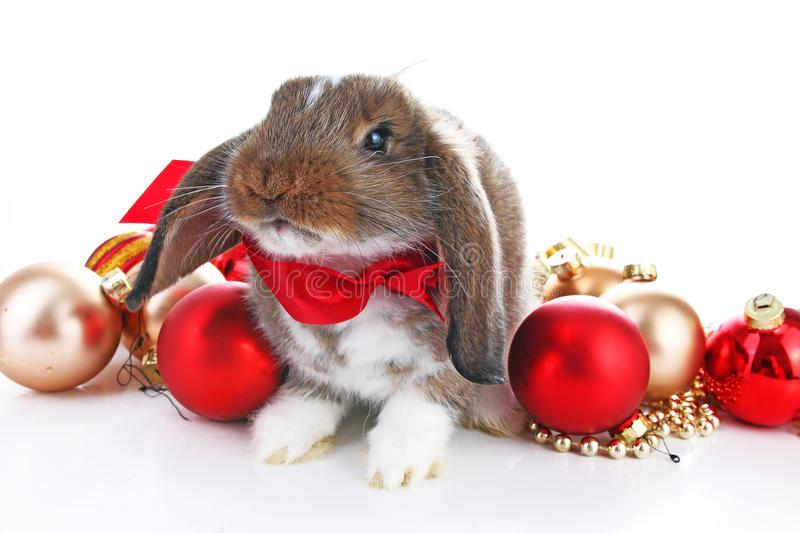 Christmas animals. Cute christmas rabbit. Rabbit bunny lop celebrate christmas with xmas bauble ornaments on isolated stock image