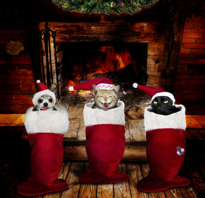 Christmas animals in stockings royalty free stock photo