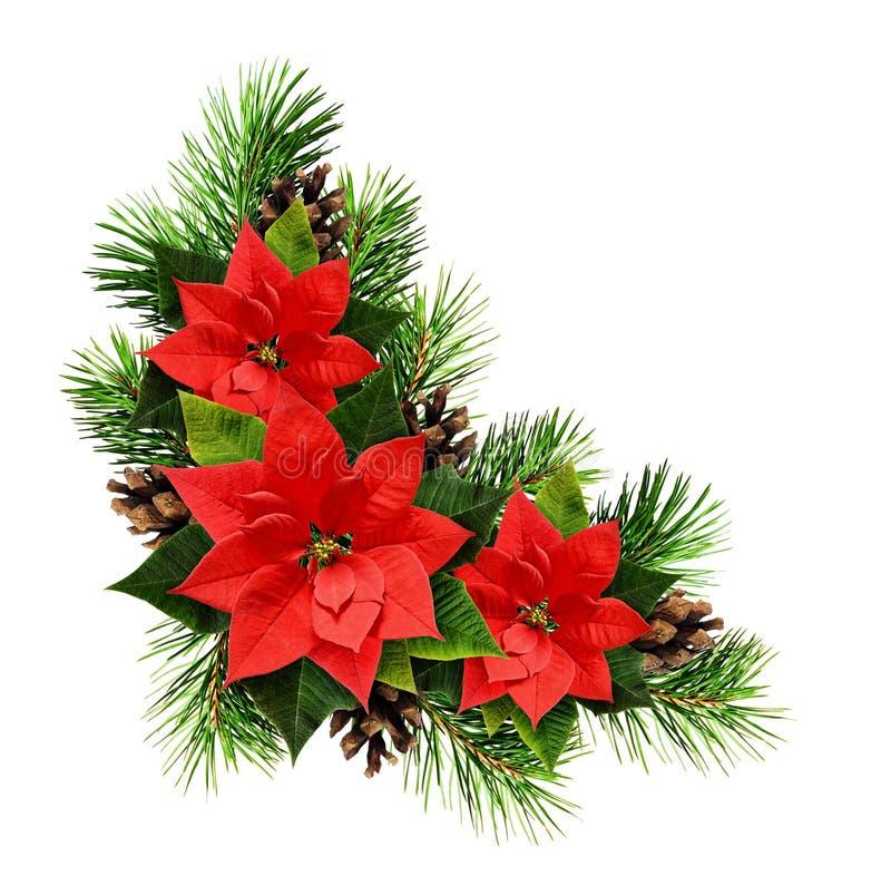 Christmas arrangement with pine twigs, cones and poinsettia flow. Christmas arrangement with pine twigs, cones, and poinsettia flowers isolated on white stock image