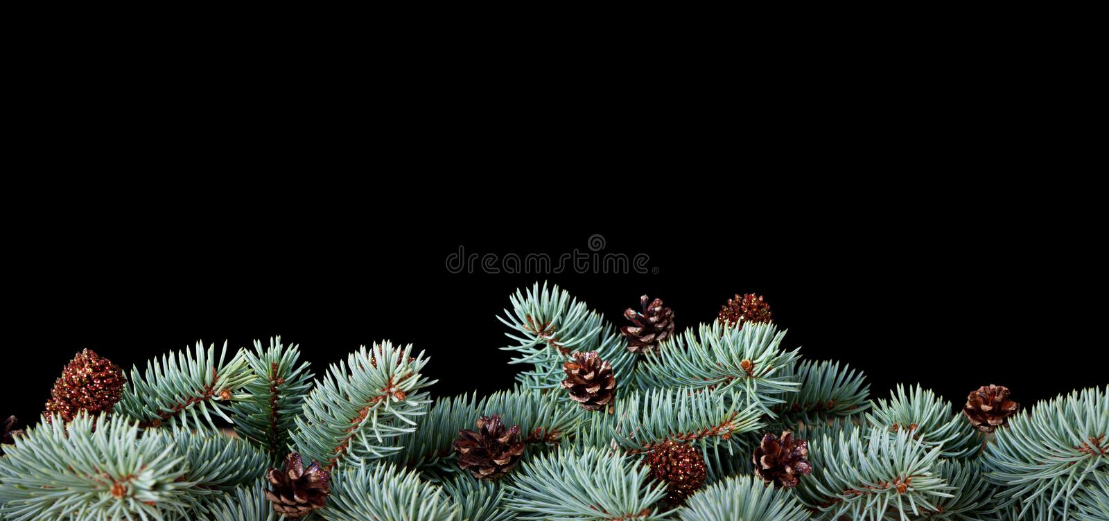 Christmas Background. Branches of pine wood with cones isolated on black background stock photo