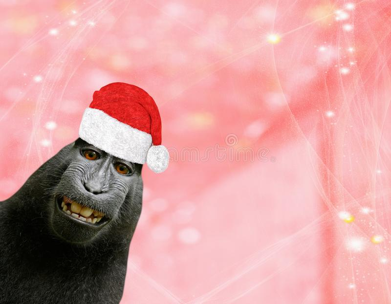 Christmas background a funny chimpanzee monkey wearing a santa claus bonnet isolated on a light red pinkish background with glitte. Rs and stars stock image
