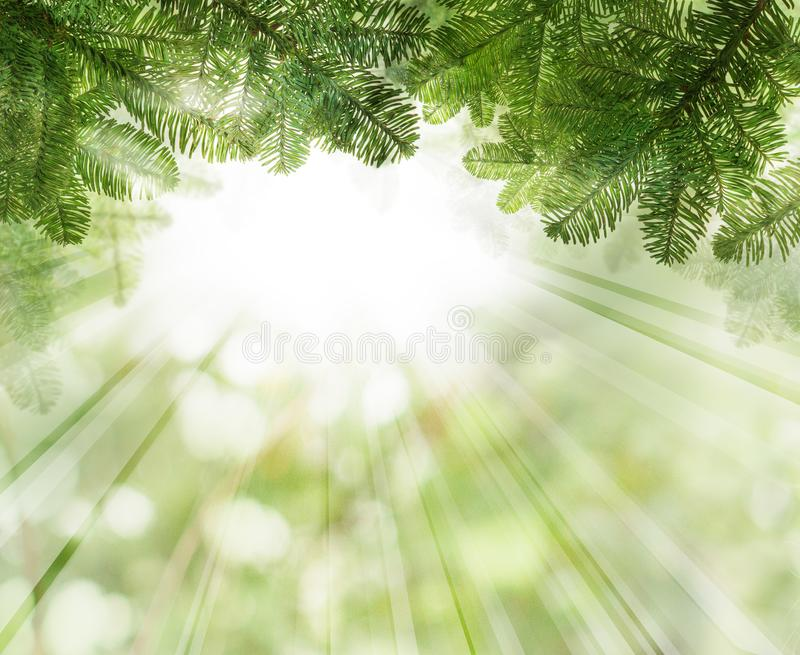 Christmas background with green Xmas tree twig royalty free stock image