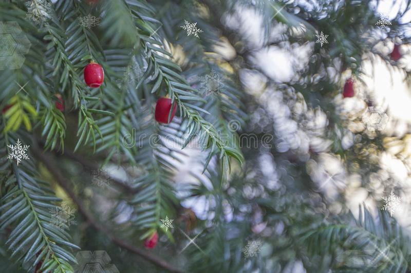 Beautiful Christmas background of holiday lights, Christmas tree branches with red berries royalty free stock photo