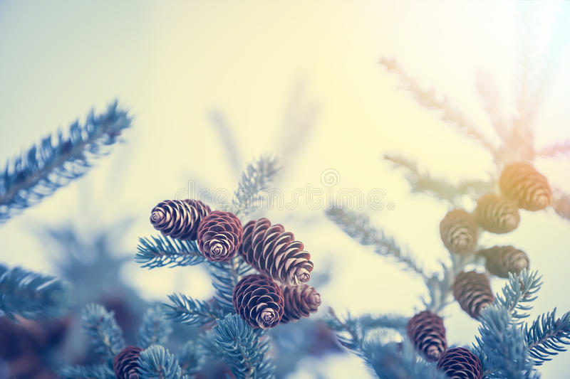 Christmas background with snow covered frozen fir tree with cones in blue tint colors and copy space. In cold winter day royalty free stock image