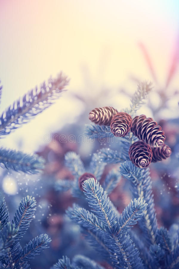 Christmas background with snow covered frozen fir tree with cones in blue tint colors and copy space royalty free stock photos
