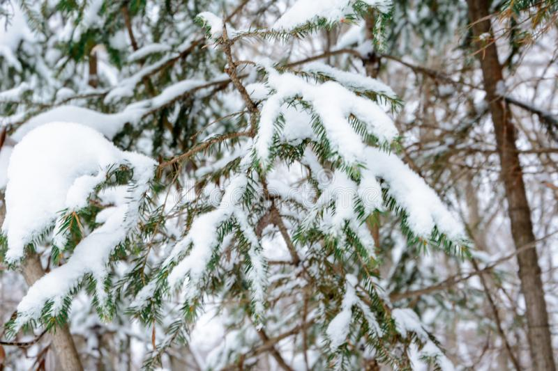 Christmas background with snowy branches of the fir trees. Snow covered trees in the winter forest. royalty free stock photography
