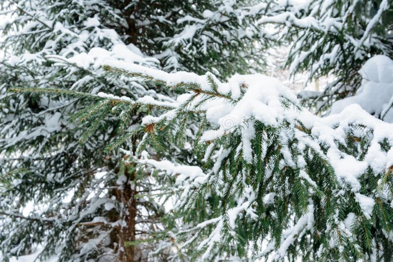 Christmas background with snowy branches of the fir trees. Snow covered trees in the winter forest. stock photography