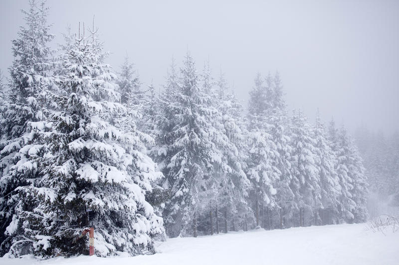 snowy fir trees forest - photo #47