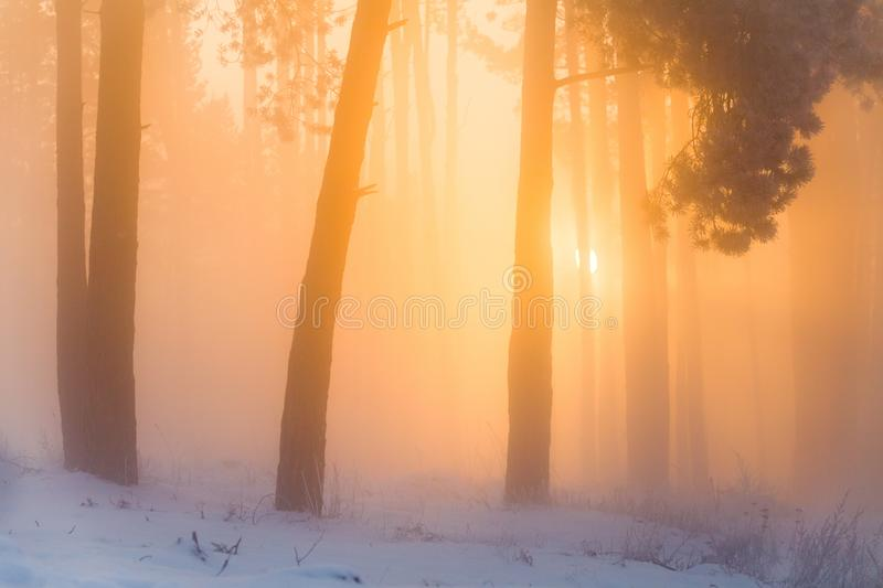 Christmas background. Winter forest on a frosty morning in the fog. Colorful sunrise in winter forest. Warm sunlight illuminates w stock photography