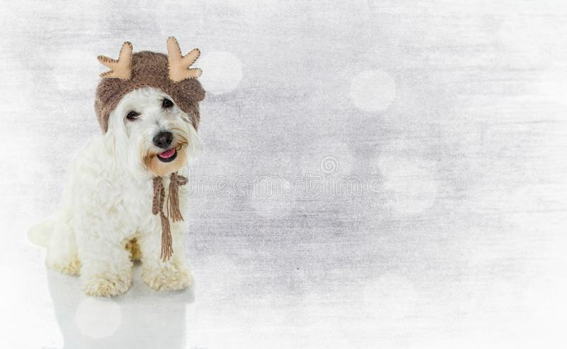 CHRISTMAS BANNER. CUTE MALTESE BICHON DOG WEARING A REINDEER HAT royalty free stock images
