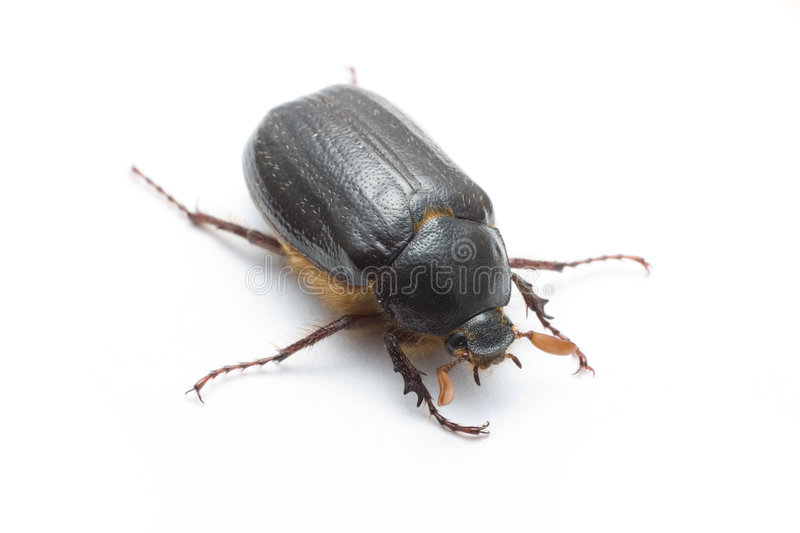 Christmas beetle. On white surface stock images