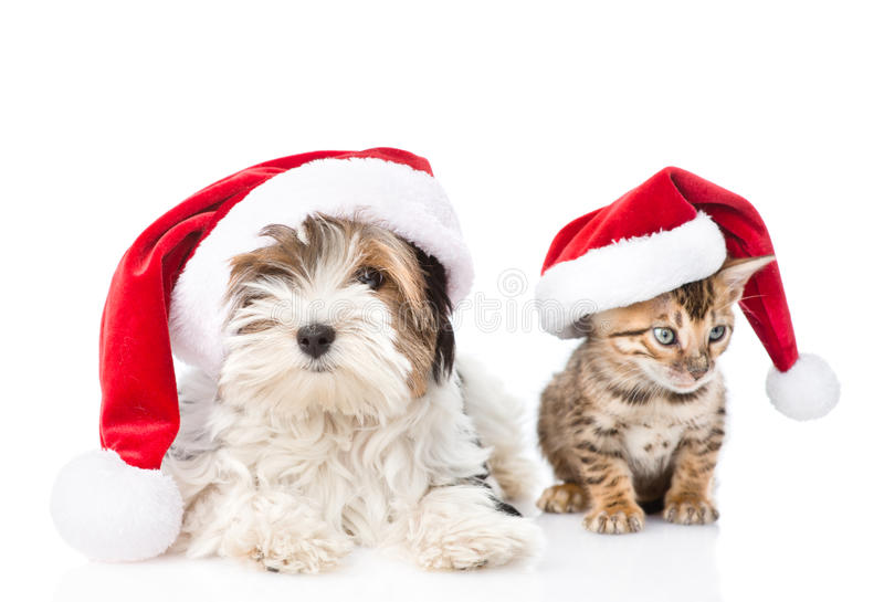 Christmas Bengal cat and Biewer-Yorkshire terrier puppy in red santa hat. isolated on white background.  royalty free stock images