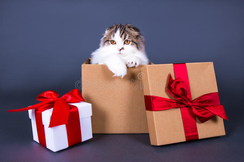 Christmas or birthday concept - cute young british cat sitting i stock photography