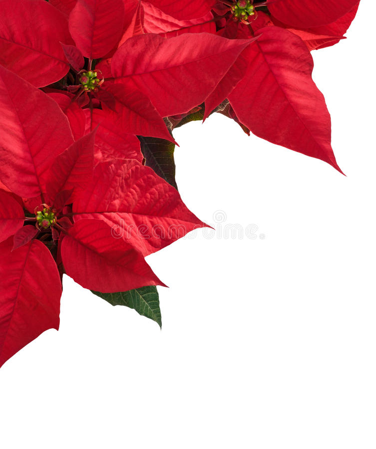 Christmas border with three red poinsettia flower in corner. Christmas border with three red poinsettia flower in corner on white, copy space for text stock photos