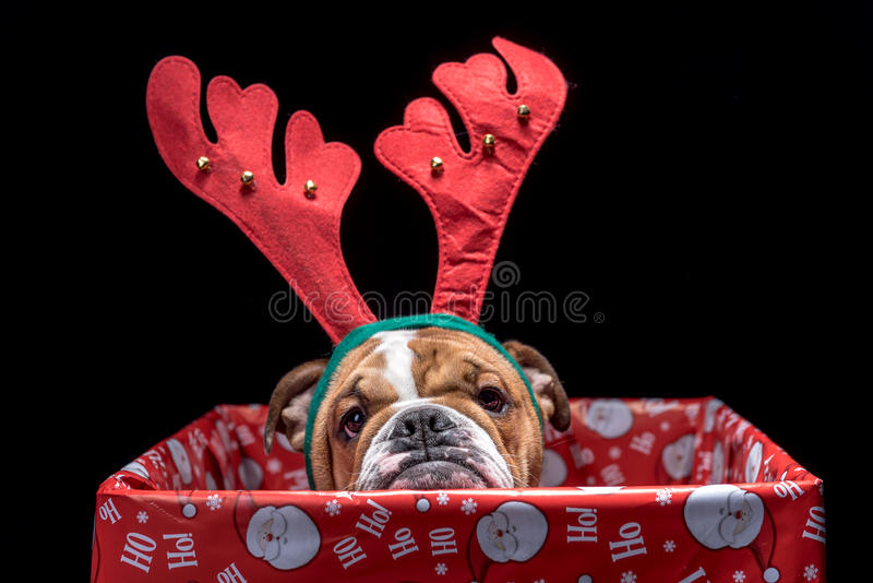 Christmas box with bulldog stock photo