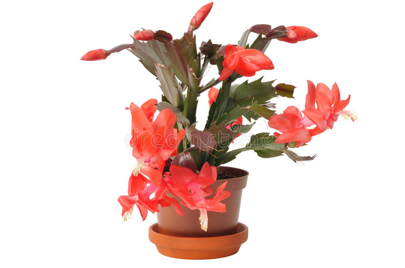 Download Christmas Cactus stock photo. Image of cactus, flower - 20488338