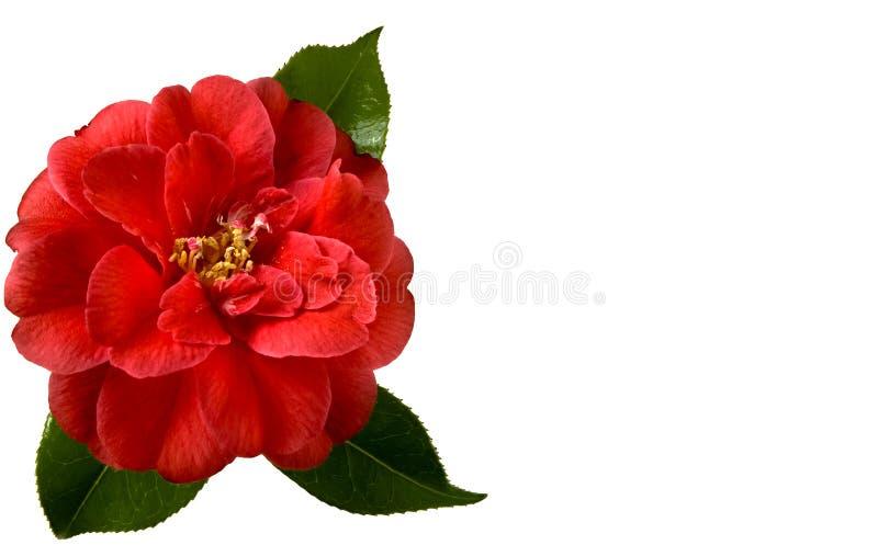 Christmas Camellia royalty free stock image