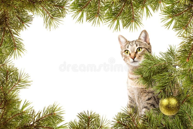 Christmas card with cat. Christmas card, domestic cat and frame from fir branches royalty free stock photos