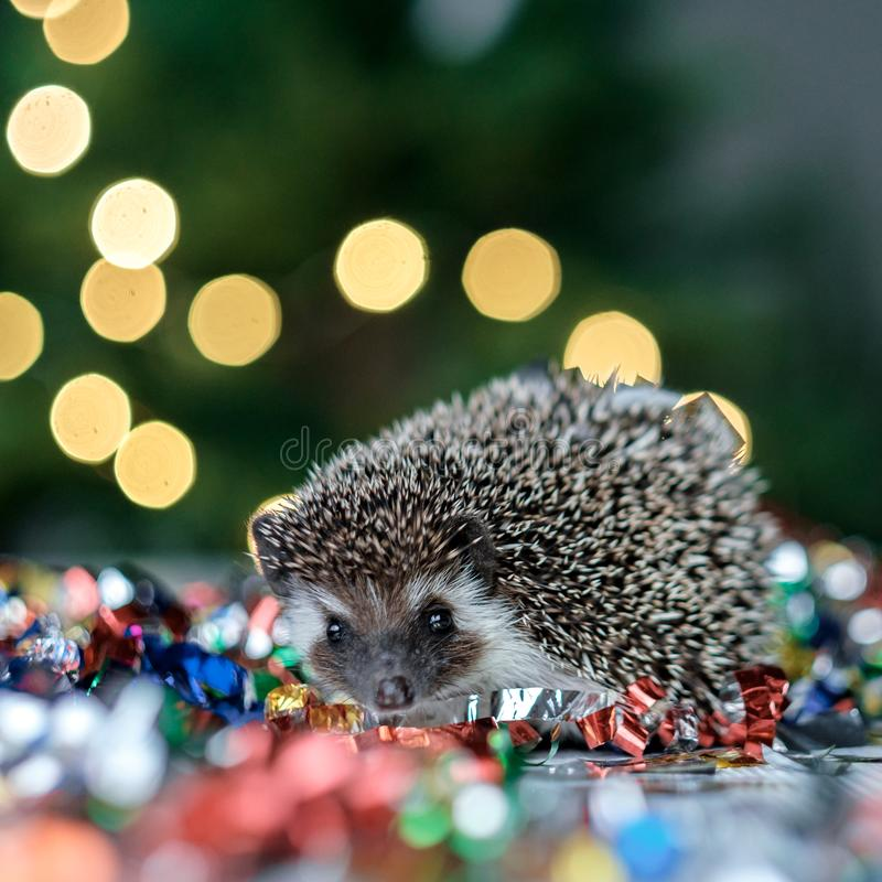 Christmas card with a cute little hedgehog. Fir background. New year card hedgehog. Holidays, winter and celebration concept. copyspace - holidays, animals and royalty free stock photos
