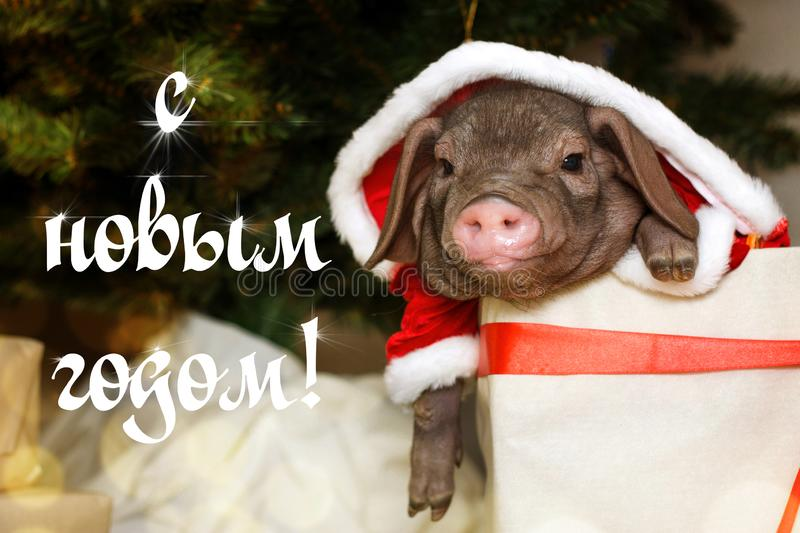 Christmas card with cute newborn santa pig in gift present box. Decorations symbol of the year Chinese calendar. fir background. R royalty free stock image