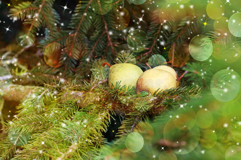 Christmas card: pears on a spruce branch. royalty free stock image