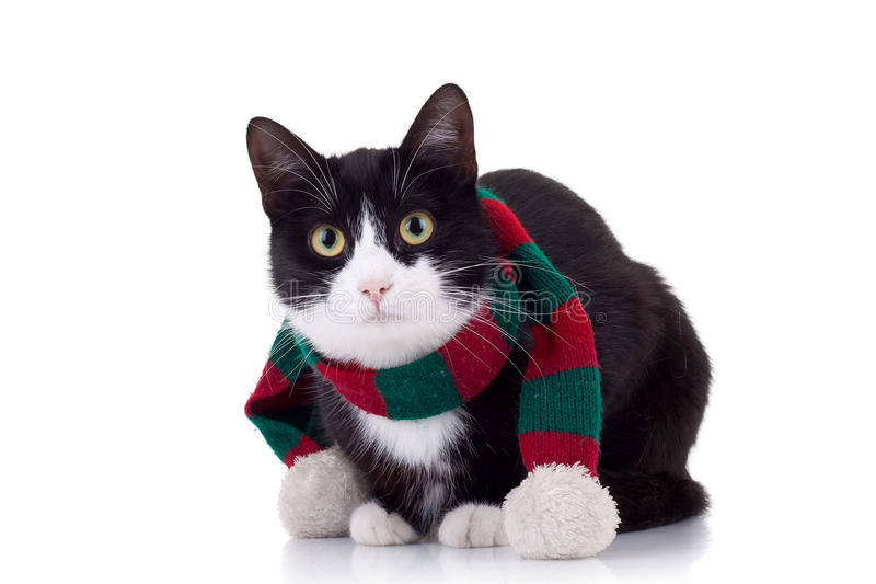 Christmas cat. Wearing a red and green muffler over white stock image