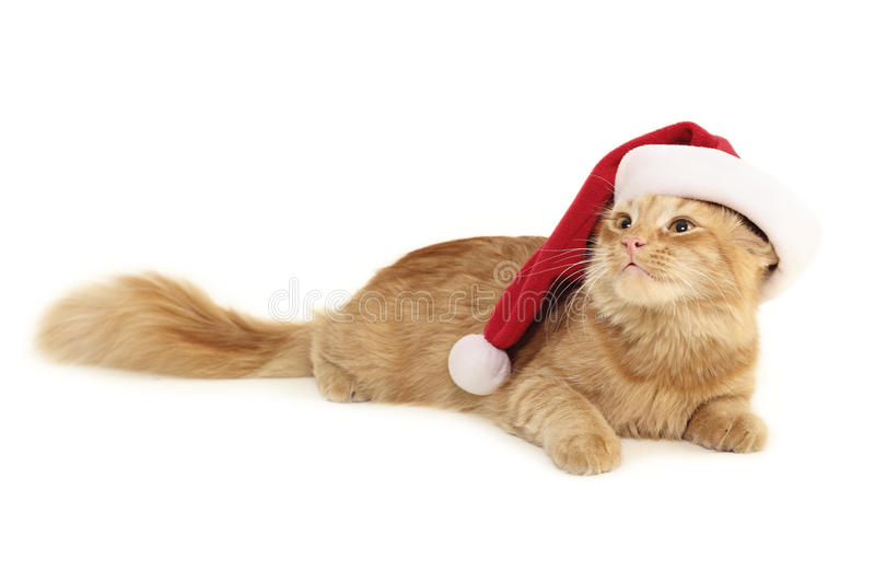 Christmas cat. Christmas red cat isolated on white background royalty free stock photos