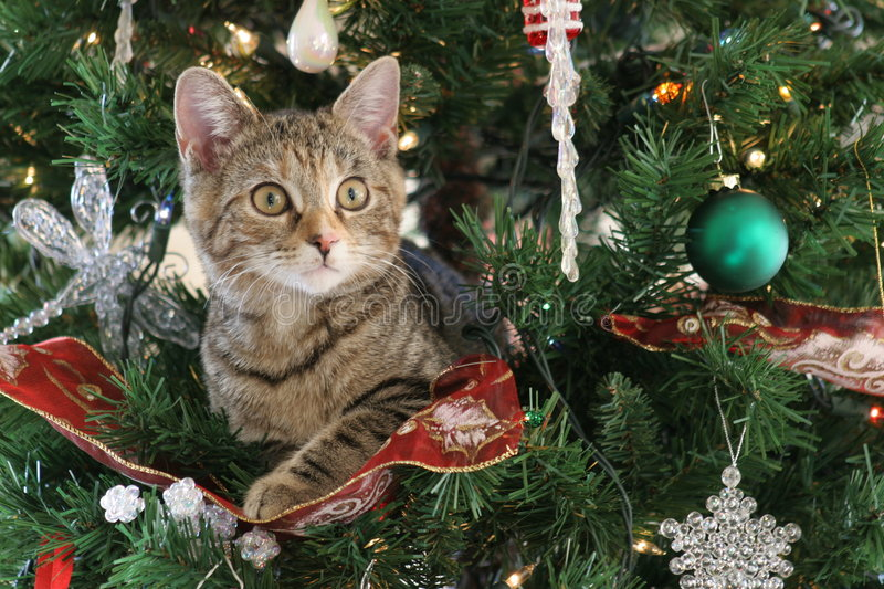 Download Christmas Cat stock image. Image of ribbon, evergreen, nose - 613817