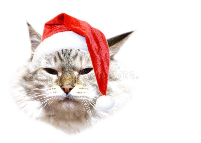 Christmas cat. On white background royalty free stock photo