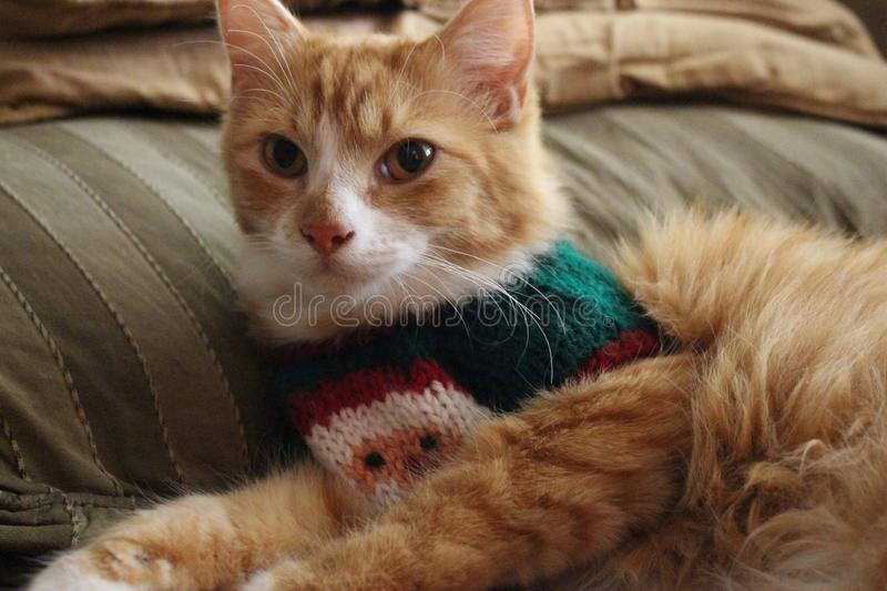 Christmas cat. We all wear our Christmas outfits at Christmas time even the cat royalty free stock image