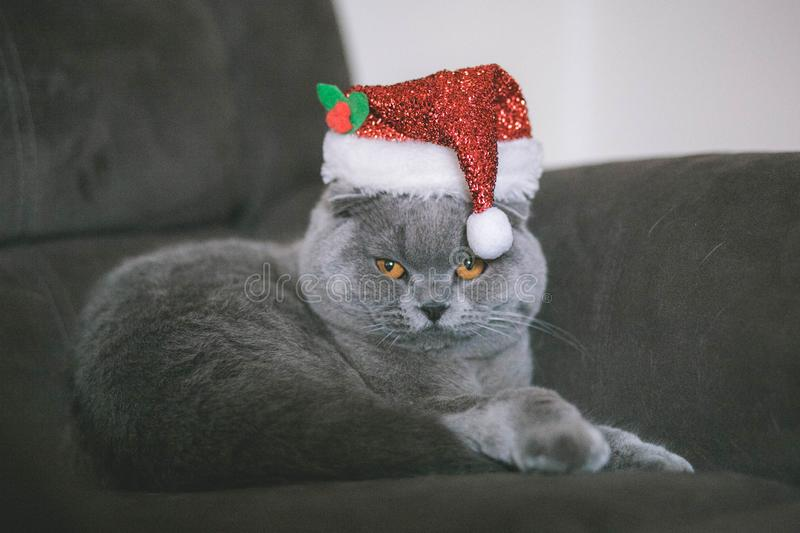 Christmas cat in the christmas hat. Christmas hat gold leaves yarn knit bind knitting christmas accessory wardrobe style accessories cat royalty free stock photo