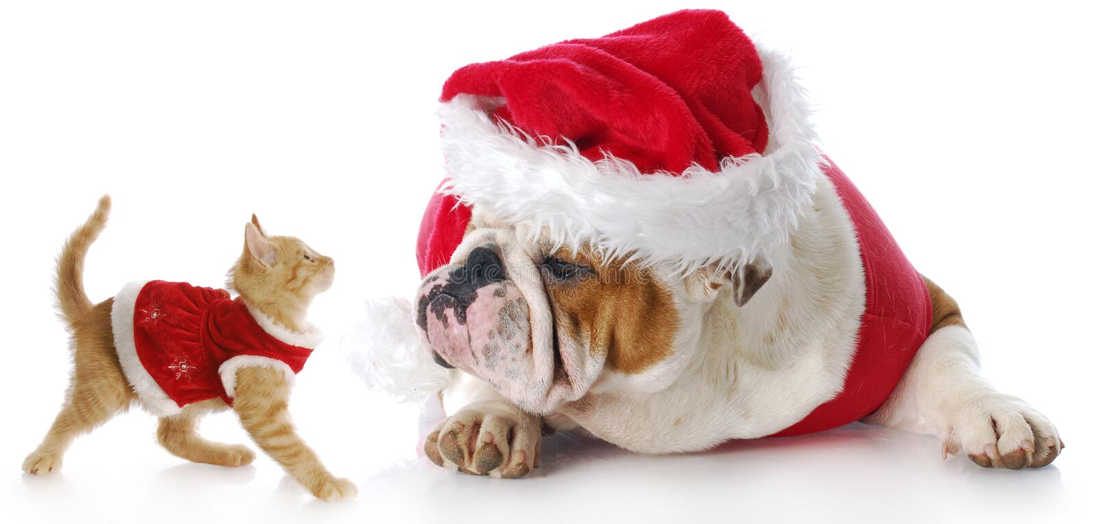 Christmas cat and dog. Adorable cat and dog dressed up for christmas with reflection on white background