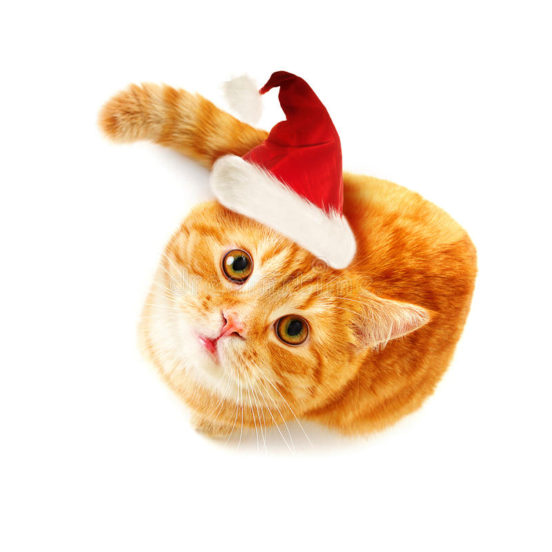 Free Christmas Cat Looking Up On White Background Stock Photography - 63109722