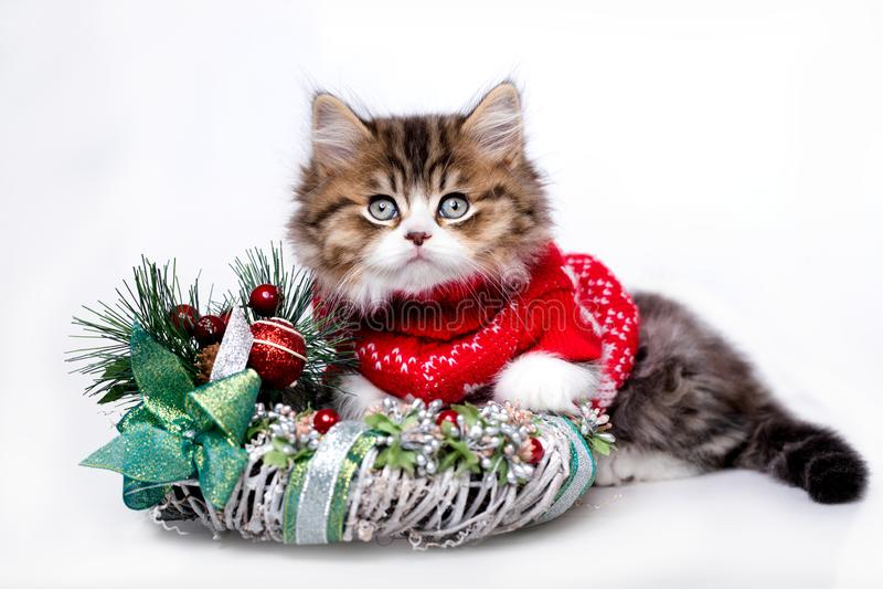 Christmas cat. New Year`s kitten, Christmas cat royalty free stock image