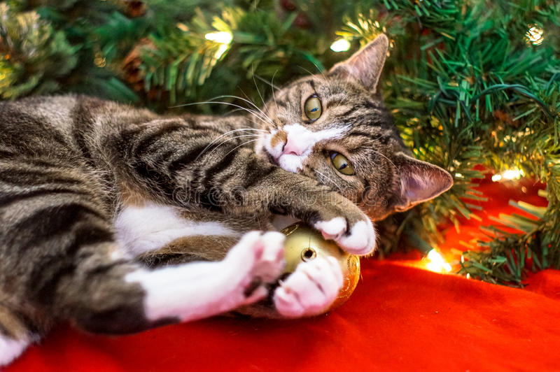 Christmas cat. Is playing with toys royalty free stock image