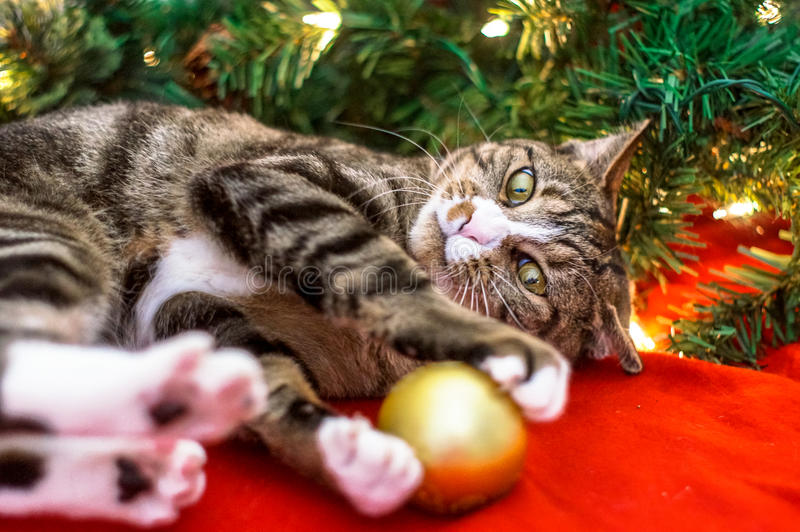 Christmas cat. Is playing with toys stock photo