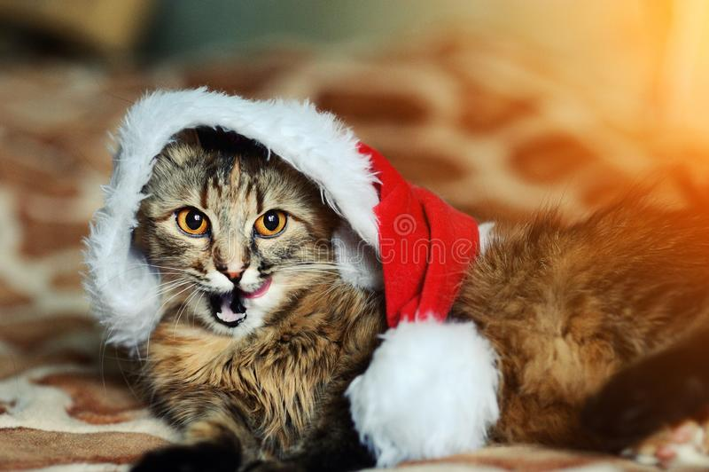 christmas cat in red Santa Claus hat royalty free stock photo