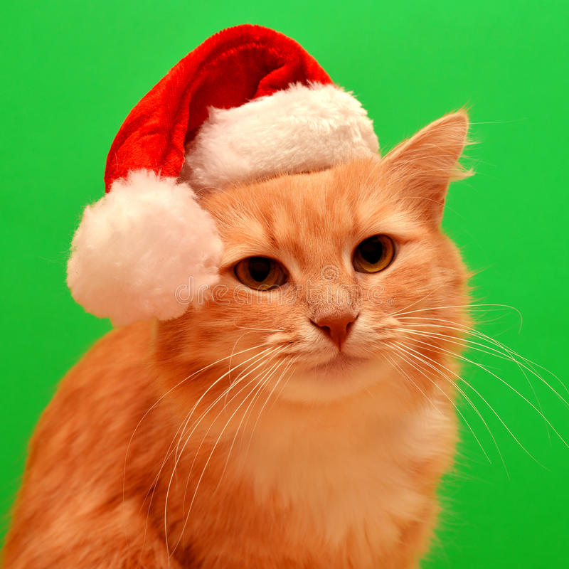 Christmas cat. With Santa Claus hat isolated on white background stock photos