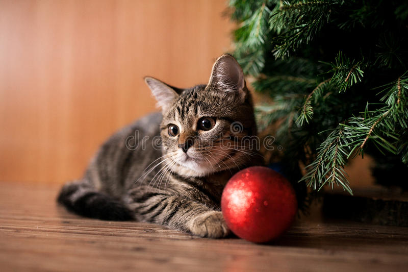 Christmas cat with toy. Christmas cat with red toy royalty free stock image