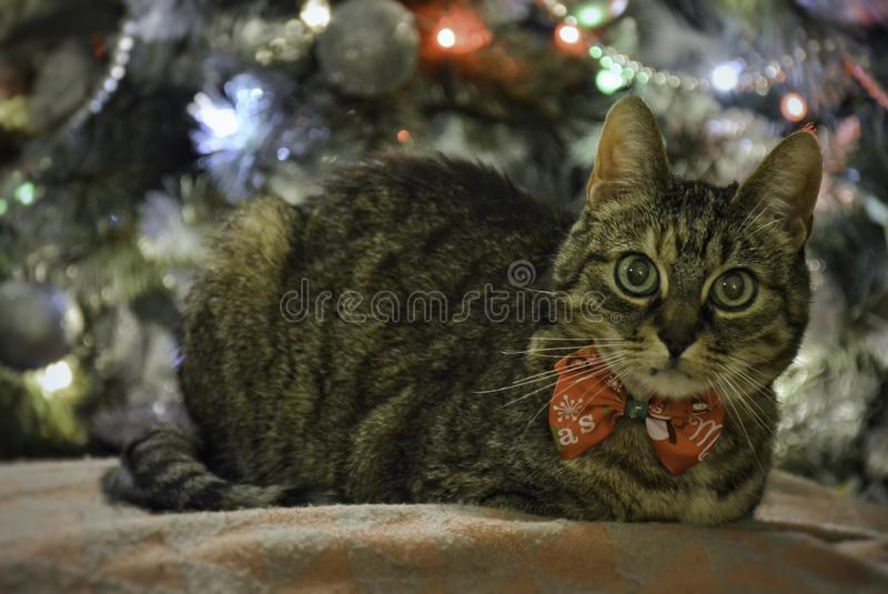 Christmas cat wearing a bow tie with christmas tree on background stock photos