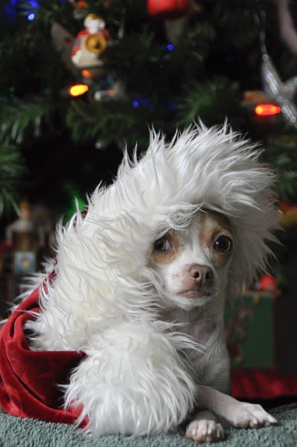 Download Christmas Chihuahua stock image. Image of adorable, small - 22376179