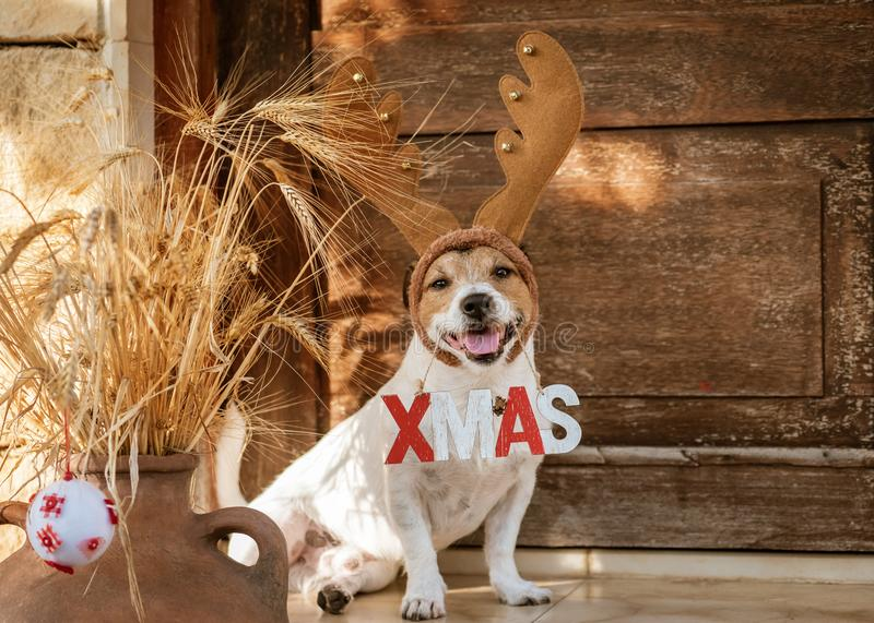 Christmas concept with dog wearing reindeer antlers holding `Xmas` sign stock photography