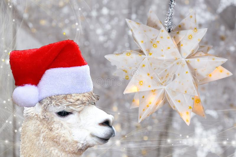 Christmas concept llama alpaca wearing a santa claus bonnet isolated on a white christmas background with stars. Funny Christmas concept llama alpaca wearing a royalty free stock photography