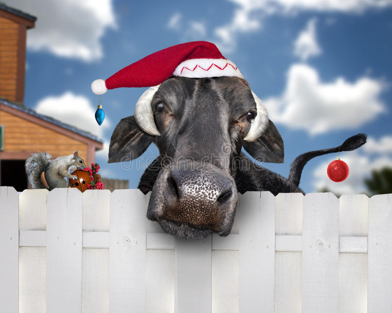 Christmas cow wearing santa hat royalty free stock photo